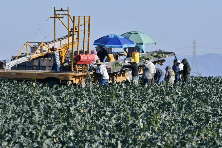 Farmworkers+harvest+broccoli+in+an+Adams+Brothers+Farm+field+near+Santa+Maria%2C+Calif.%2C+on+Thursday%2C+Dec.+13%2C+2018.+U.S.+health+officials+have+traced+a+dangerous+bacterial+outbreak+in+romaine+lettuce+to+at+least+one+farm+in+central+California.+The+Food+and+Drug+Administration+said+59+people+have+now+been+sickened+by+the+tainted+lettuce.+Officials+said+a+water+reservoir+at+Adams+Brothers+Farms+in+Santa+Barbara+County+tested+positive+for+the+bacterial+strain+and+the+owners+are+cooperating+with+U.S.+officials.+%28Len+Wood%2FSanta+Maria+Times+via+AP%29