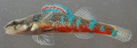 Trispot Darter fish found in Tennessee, Alabama and Georgia is to be named to Endangered Species List