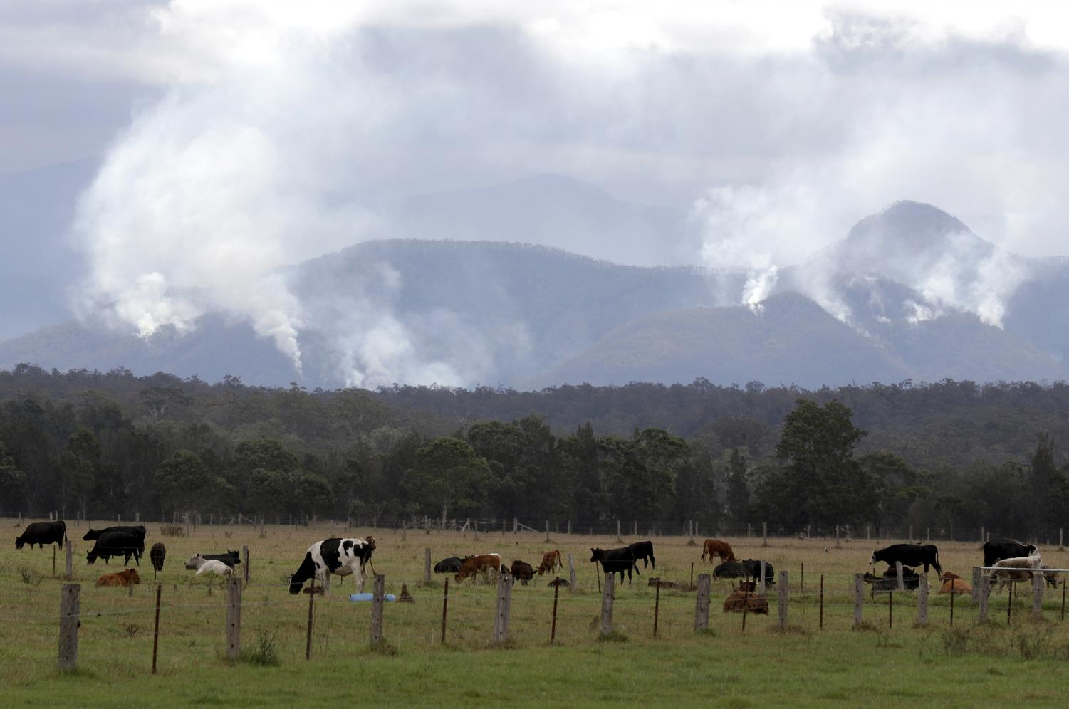 Australia Wildfires Image ID : 20009182029151 Cattle graze in a field as smoke rises from burning fires on mountains near Moruya, Australia, Thursday, Jan. 9, 2020. The wildfires have destroyed 2,000 homes and continue to burn, threatening to flare up again as temperatures rise. (AP Photo/Rick Rycroft)