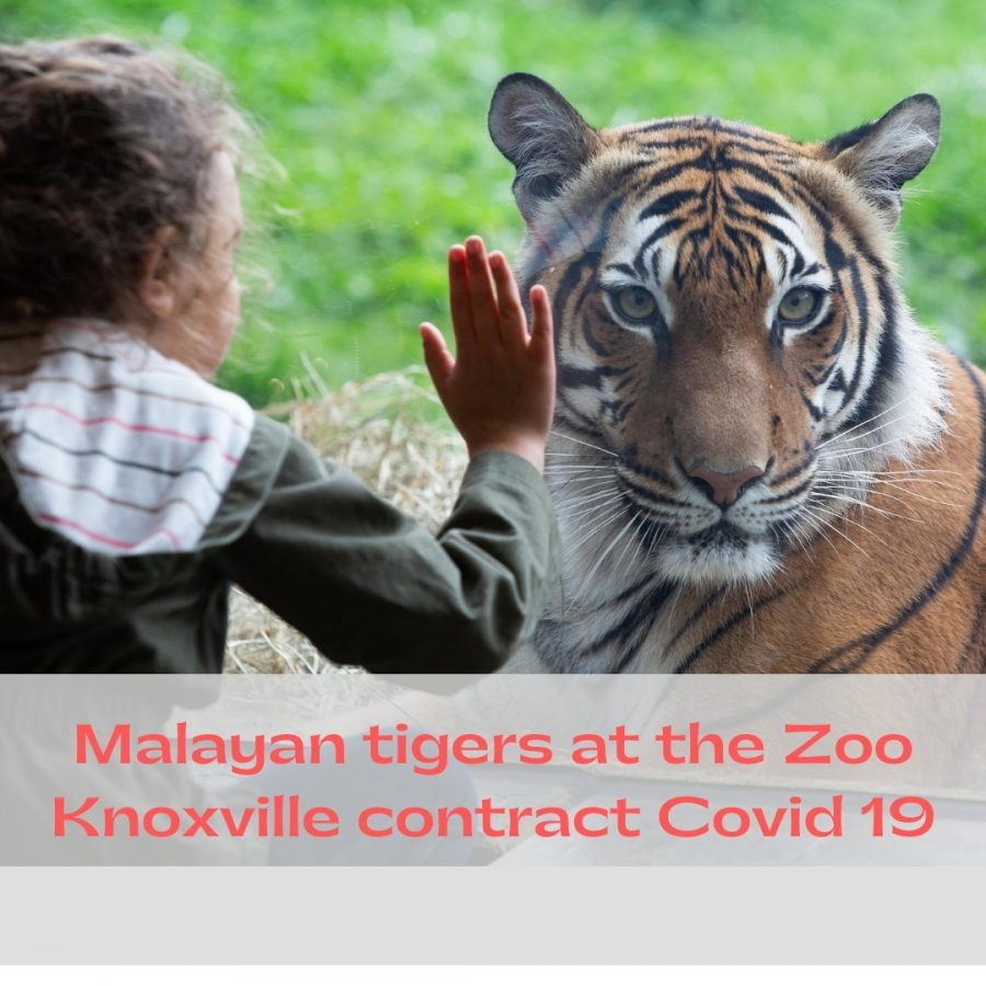 Malayan+tigers+at+the+Zoo+Knoxville+contract+Covid+19%2C+zoo+vaccinations+to+come.